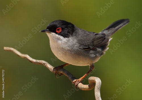 Leinwand Poster Sylvia melanocephala warbler perched on a branch