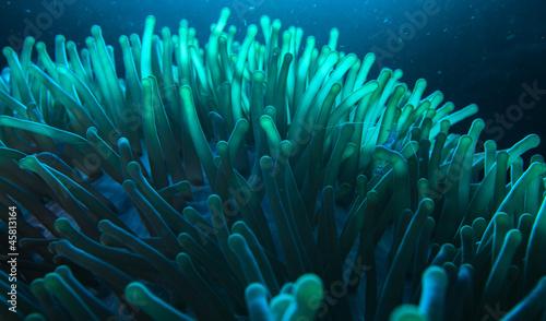 Tableau sur Toile blue glowing anemone
