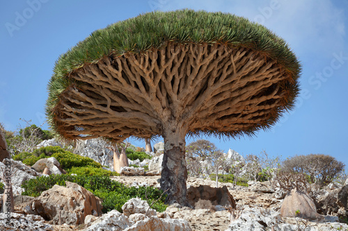 In de dag Baobab Dragon tree, Socotra island, Yemen