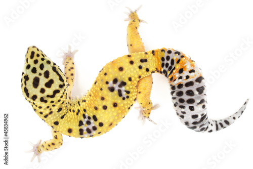 Poster Leopard Leopard gecko on white background.