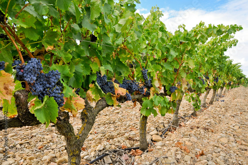 Grapes in a vineyard, La Rioja (Spain)