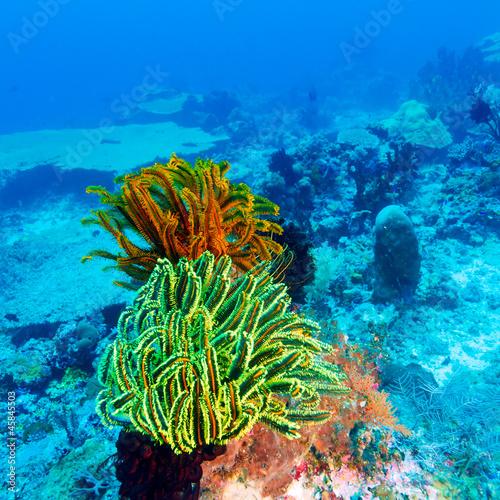kolorowe-lilie-morskie-na-tropikalnej-rafie-koralowej