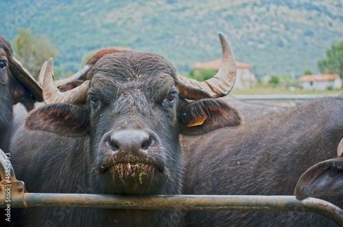 Poster Buffel bufala nel recinto