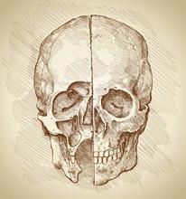 Skull. Section. Based On Drawing Of Leonardo Da Vinci