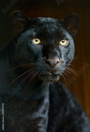 Poster Panter Leopard