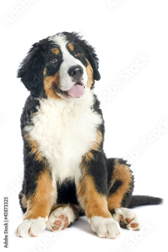 Poster de jardin Vache puppy bernese moutain dog