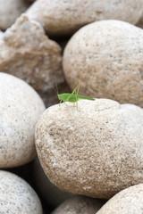Fototapeta na wymiar green grasshopper on a stone