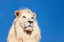 Head Shot Portait Of Majestic White Lion Against Blue Sky
