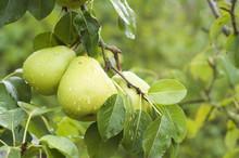Two Pears On Pear Tree Branch ...