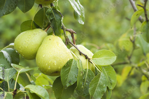 two pears on pear tree branch with rain drops and green leaves