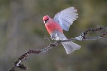 Grosbeak Landing On A Branch
