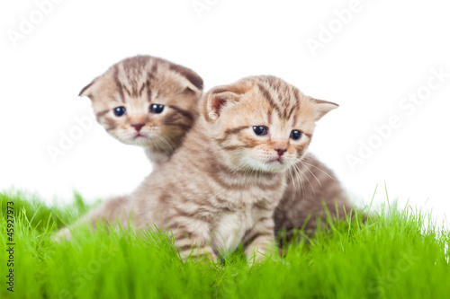 two british kittens on grass - 45927973