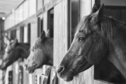 Fototapeta  cavalli