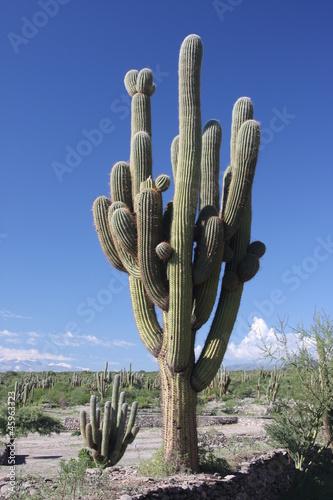 Foto op Plexiglas Cactus Kaktus-Gigant