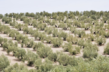 Fototapeta na wymiar Plantation of olive trees, Andalusia (Spain)