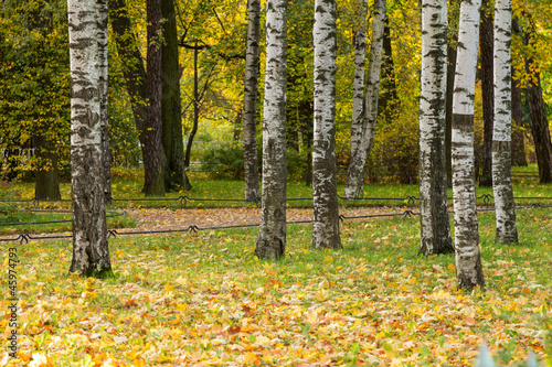 Staande foto Berkbosje birch trees in the park with maple leaves