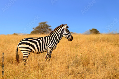In de dag Zebra Zebra standing in Grass on Safari watching curiously
