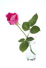 Pink Rose Bud In Vase