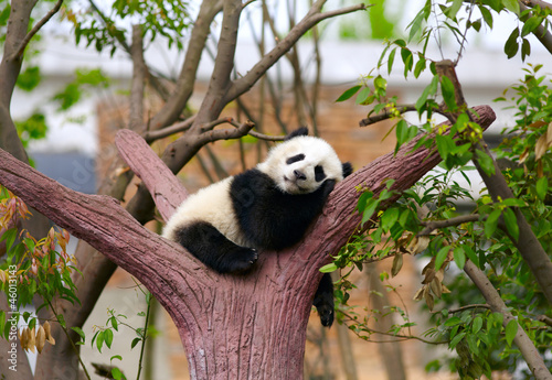 Stickers pour portes Panda Sleeping giant panda baby