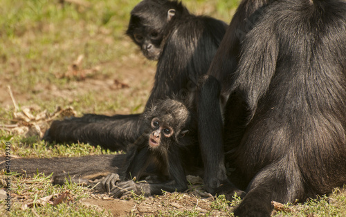 Staande foto Buffel Black-handed spider monkey
