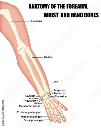 Anatomy of the Forearm, Wrist and Hand Bones Wallpaper Mural