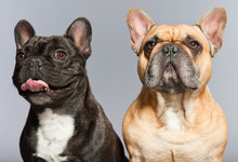 Black And Brown French Bulldogs Together.