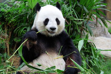 Fototapeta giant panda bear eating bamboo
