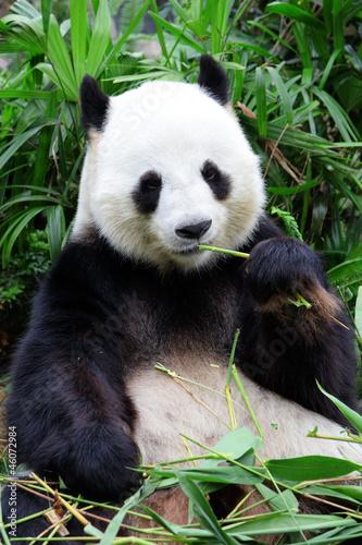 giant panda bear eating bamboo Wallpaper Mural