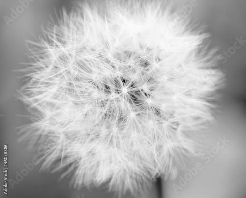 Fototapety, obrazy: Dandelion Mono