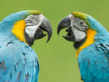 Close-up Of Two Macaw Parrots