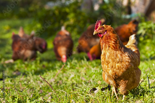 Photo sur Aluminium Poules flock of chickens grazing on the grass