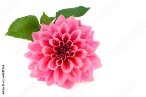 Poster de jardin Dahlia Large pink flower dahlia