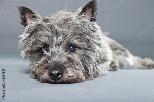 Foto Grey cairn terrier isolated on grey background