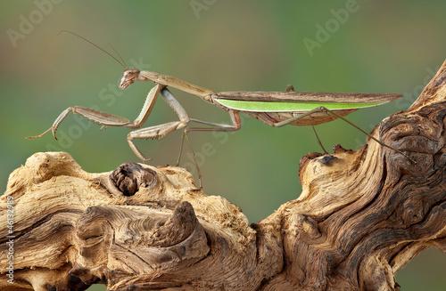 Fototapeta  Mantis walking over branch