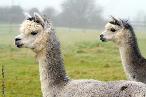 Foto op Canvas Lama Two gray Alpacas. They resemble a small llama in appearance