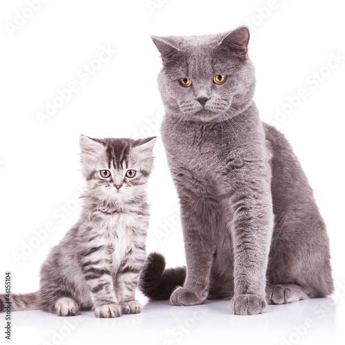 Keuken foto achterwand Kat english cats, adult and cub