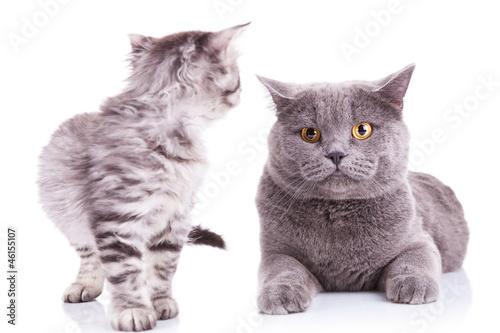 Keuken foto achterwand Kat kitten looking at an adult cat