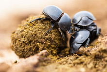 Three Dung Beetles Working Rea...