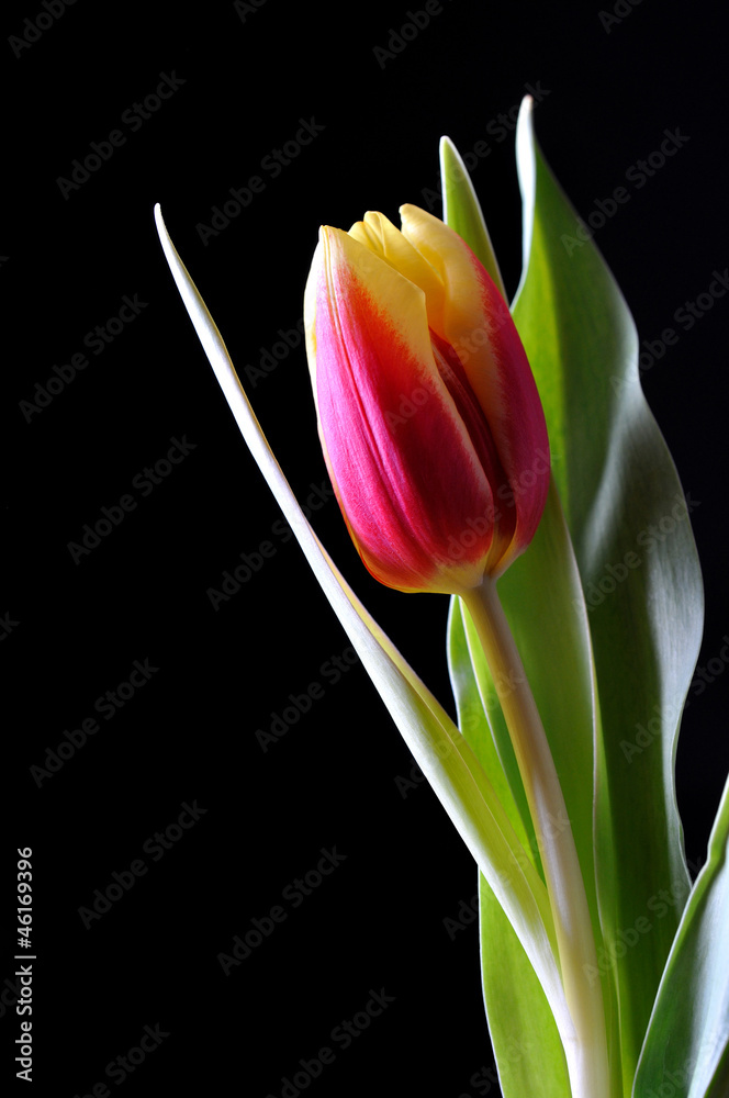 A tulip on black