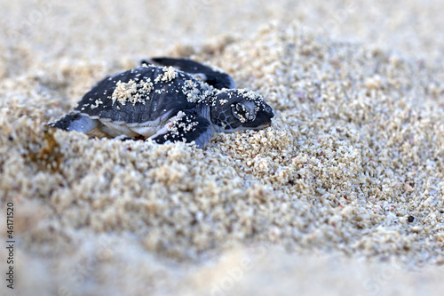 Fotografie, Obraz  Green Sea Turtle Hatchling