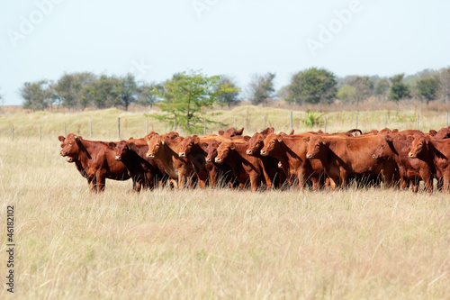 Photo Red angus cattle