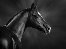Black And White Portrait Of Arabian Stallion