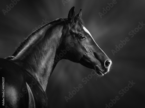 Foto  Black and white portrait of arabian stallion