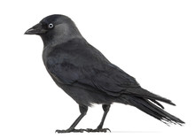 Side View Of A Western Jackdaw, Corvus Monedula
