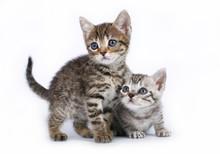 Two Scottish Kitten On A White Background.