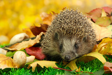 Hedgehog On Autumn Leaves In F...