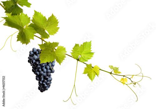 Fototapeta Collage of vine leaves and blue grape obraz