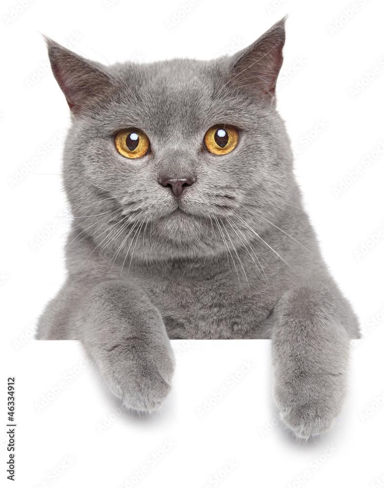 Photo  British gray cat on a white banner