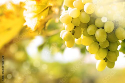 Fotografia, Obraz  Green grapes on vine