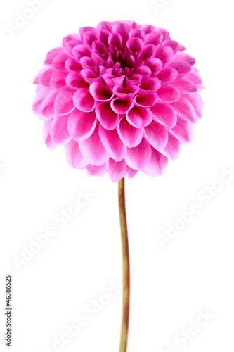 In de dag Dahlia Dahlia flower